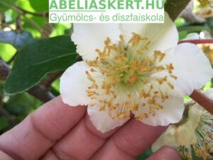 Actinidia chinensis-'Tomuri' - Porzó kivi növény virága