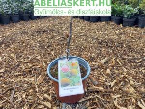 Ficus carica Brogiotto Bianco - Télálló fügefa eladó