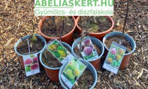 Eladó fügefa választék aktuális kínálat. Abéliskert faiskola Szeged