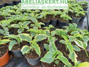 Hosta Moerheim Árnyliliom ültetés
