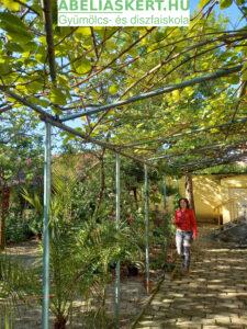 Actinidia chinensis 'Tomuri' - Télálló porzós kivi