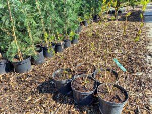 Punica garanatum 'Güleyse' – Termő gránátalma