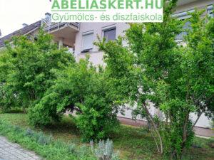 Punica granatum 'Karabakh' - Örmény gránátalma bokor eldo